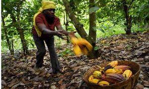 Cocoa-farmer-in-Ghana-001